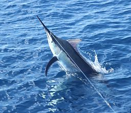 Juvenile Black Marlin
